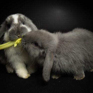Conigli ariete nani
