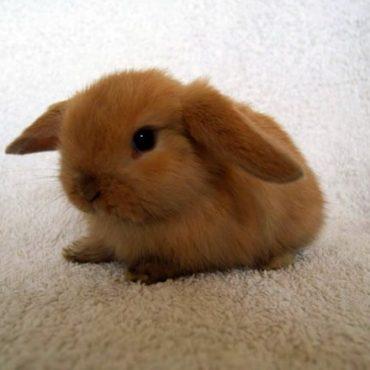Coniglietta nana